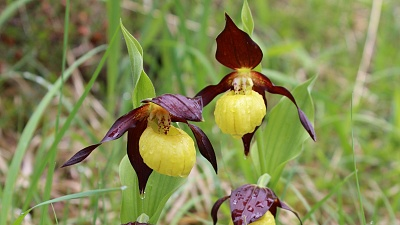 Rare Lady Slippers on the flank of Mount Rossberg