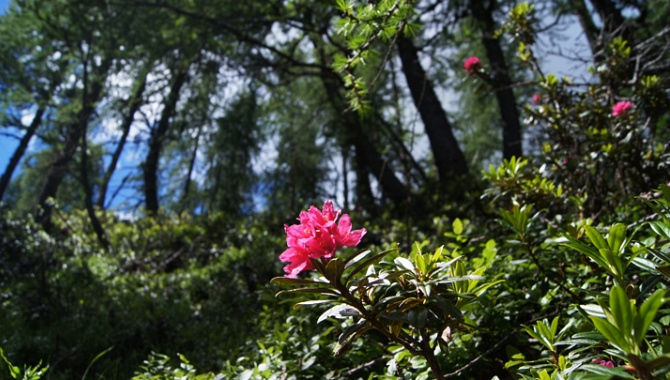 Rhododendrons.