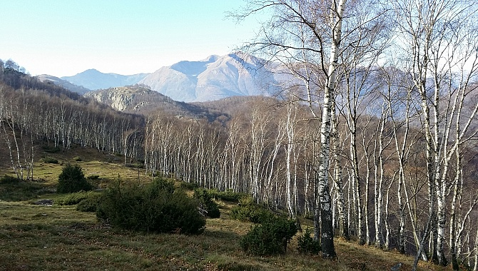 Birch Groves near Gola di Lago