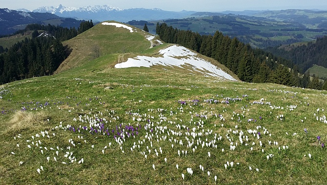 There are crocuses also at the summit of Mt. Wachthubel.