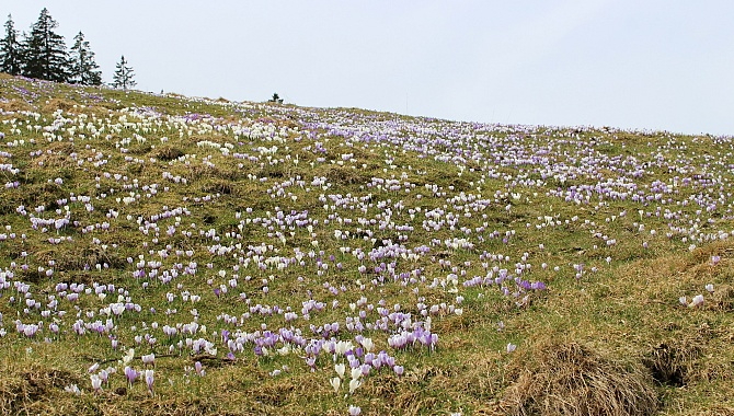 Thousands and Thousands of Crocuses on Rämisgummen Alp.