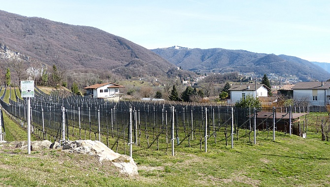 Vineyards in Corteglia (Castel San Pietro in the background)