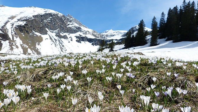 The crocuses are just starting to bloom on the Wannelenalp.