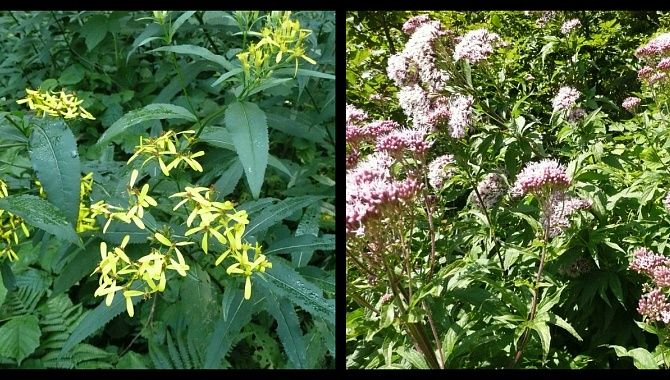 Hogwart and Boneset,herbal plants that grow in this area.