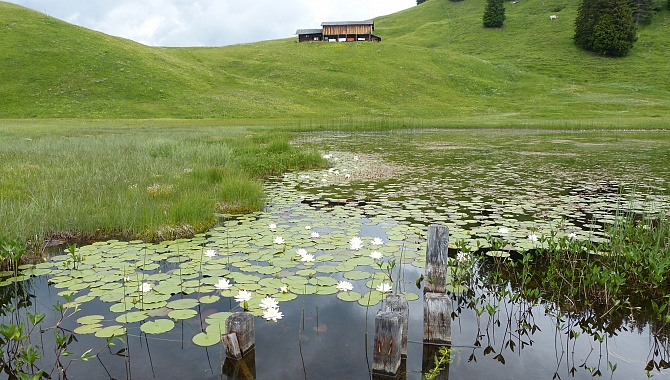 Stelsersee, highest altitude waterlily pond/lake in Europe.