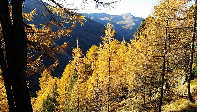 Beautiful Larch Forests in colours of fire.
