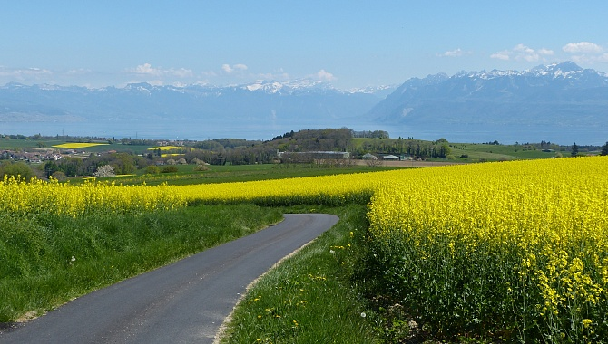Through the canola fields above Lake Geneva
