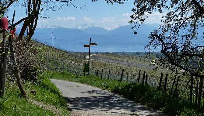 Leaving the forested area you are in the vineyards above Lake Geneva