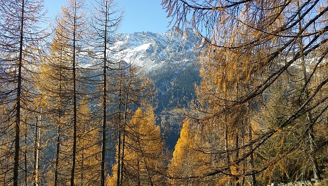 Larch forests along the Panorama Trail