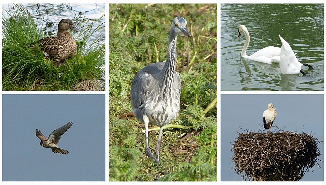 Some of the various birds found along the lake perimeter